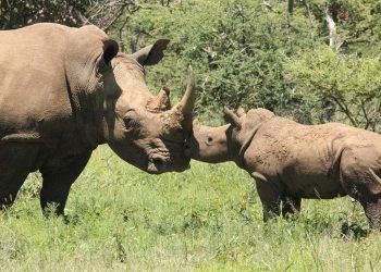adopt-a-rhino